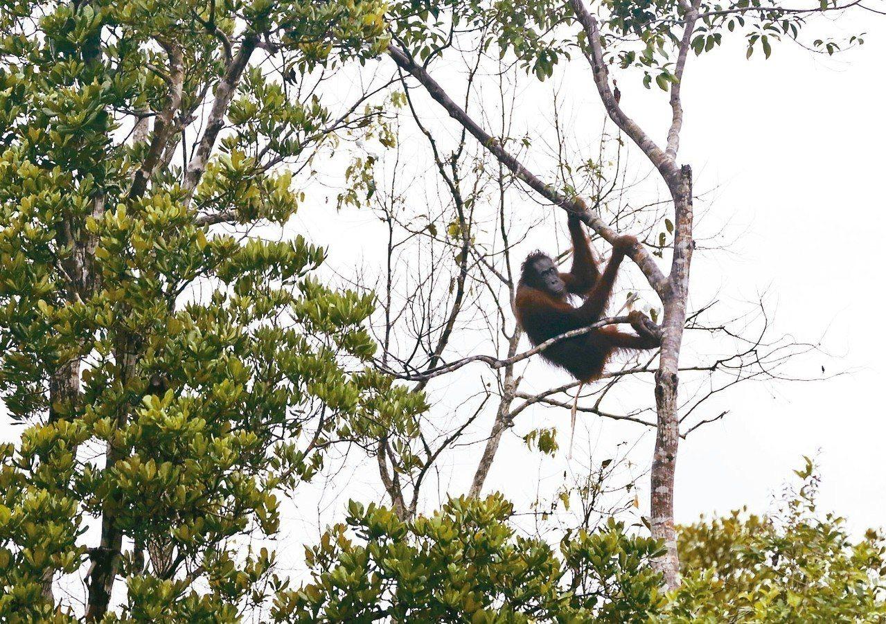 圖為印尼野生猩猩。 美聯社