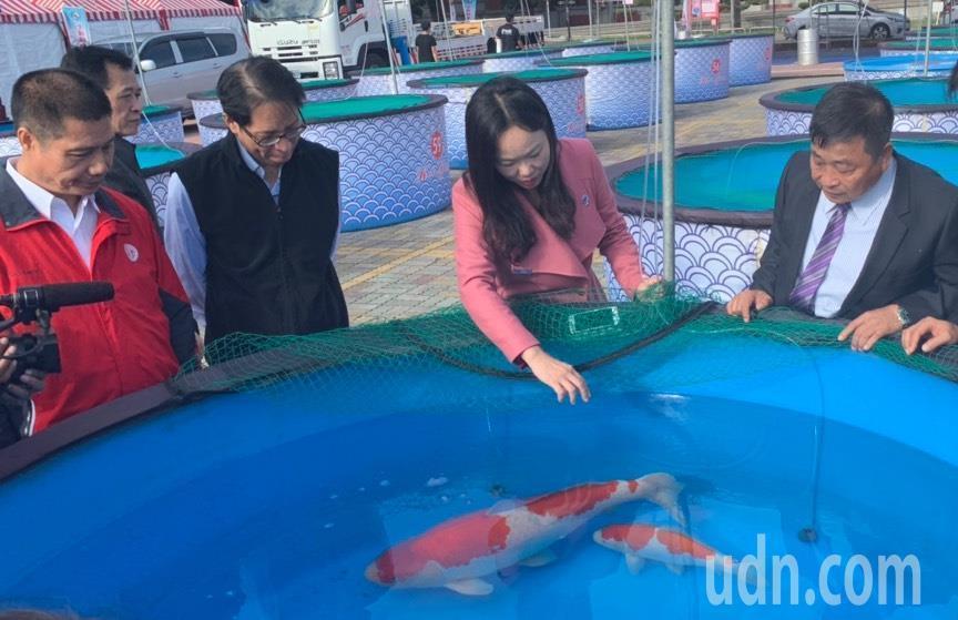 中華愛鯉協會本周末在新竹縣政府前廣場舉辦國際性錦鯉大賽。記者陳斯穎/攝影