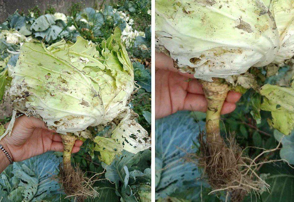 不少網友都是第一次知道原來高麗菜「有根」! 圖片來源/●【爆廢公社】●