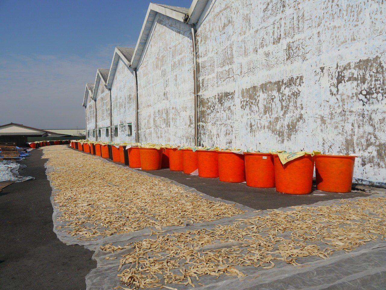 美濃農會大量收購盛產蘿蔔,在烈日下曝曬製成蘿蔔乾。記者徐白櫻/攝影