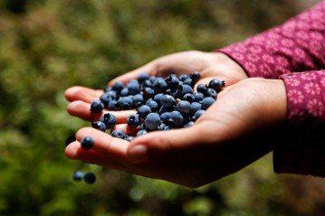 野生藍苺可吸取腦部組織的重金屬?因為它們含有特殊排毒能力的獨特營養素?真的嗎? 圖/美聯社