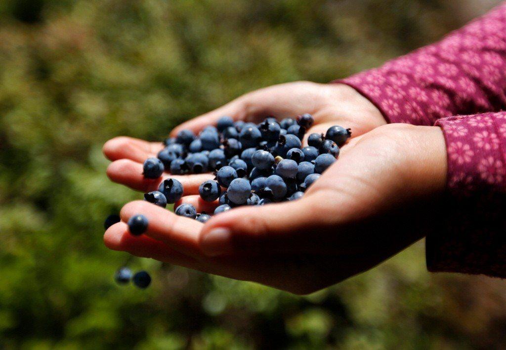 野生藍苺可吸取腦部組織的重金屬?因為它們含有特殊排毒能力的獨特營養素?真的嗎? ...