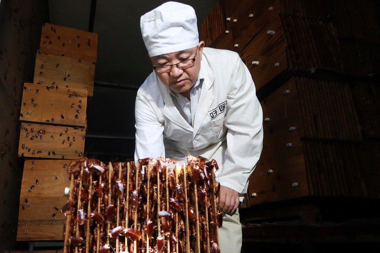 中國四川好醫生藥業集團職員向記者展示該公司在四川省西昌市「蟑螂農場」內的蟑螂巢穴...