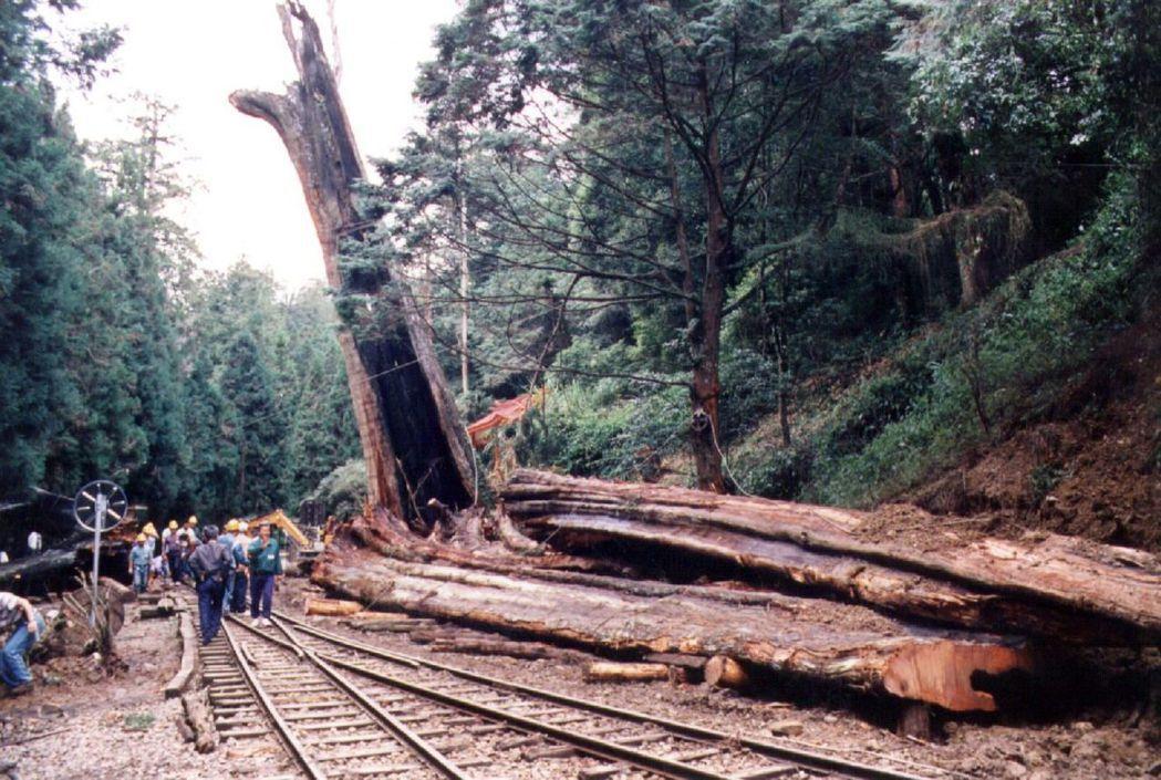 1997年阿里山神木倒伏,樹身已全部移到鐵軌旁,毗臨尚未倒伏的另一半神木。 圖╱...