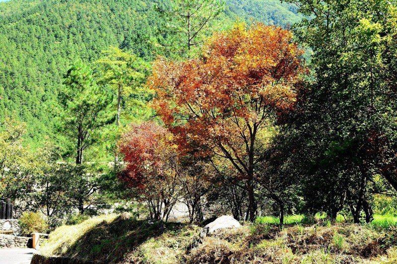 台中武陵地區每年12月是賞楓最高峰,高山楓紅美極。圖/東勢林管處提供
