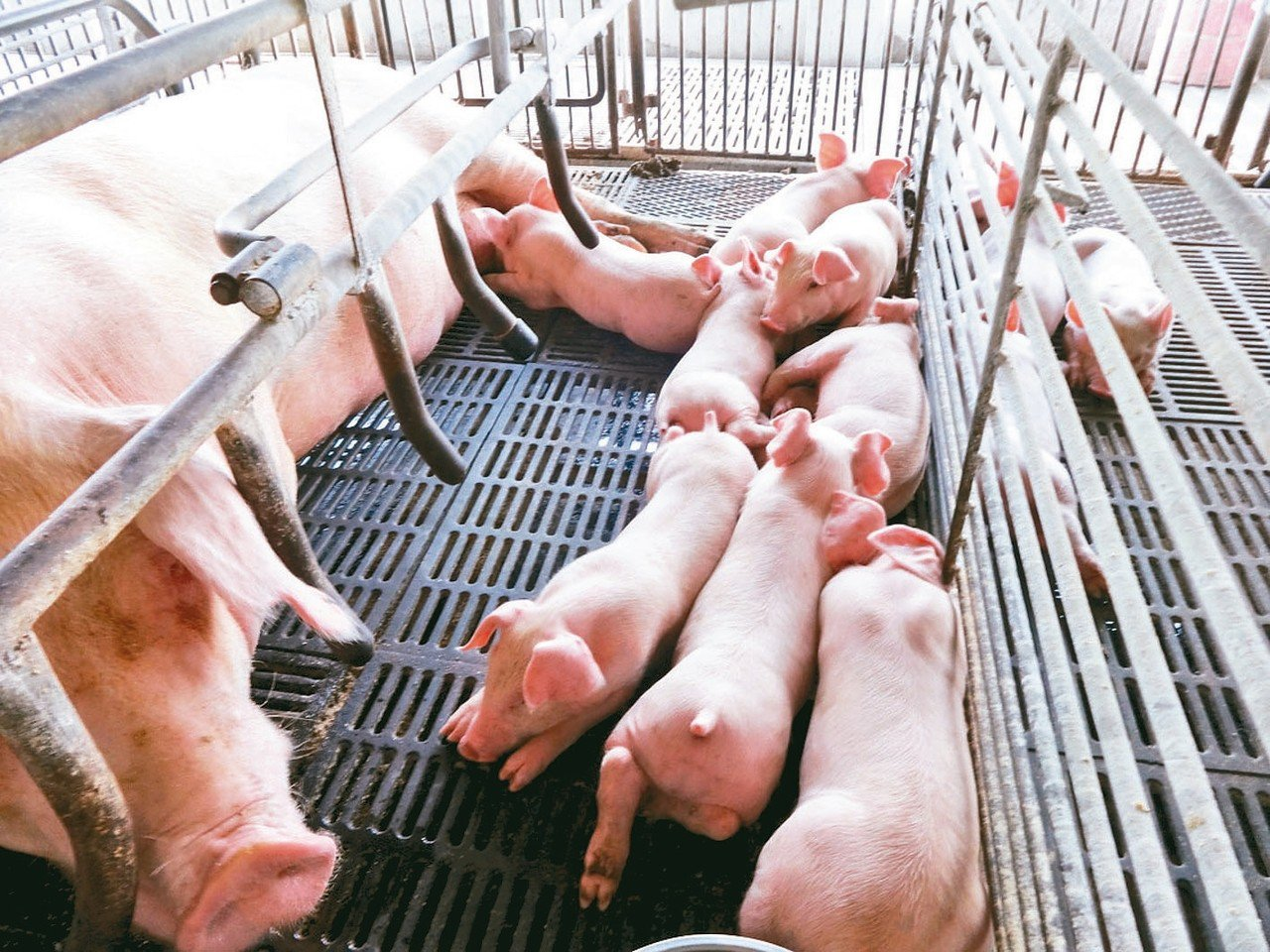 非洲豬瘟若擴散來台,將重創台灣養豬業。 圖/聯合報系資料照片
