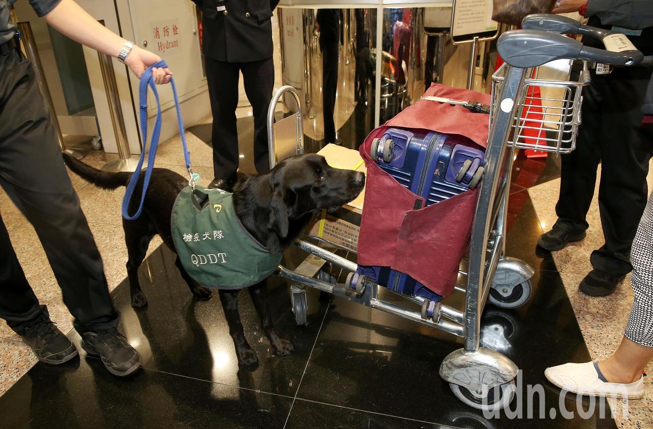 防檢局檢疫犬檢查旅客行李。本報資料照/記者陳嘉寧攝影