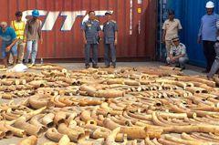 歷來規模最大 柬埔寨查獲3.2公噸走私象牙