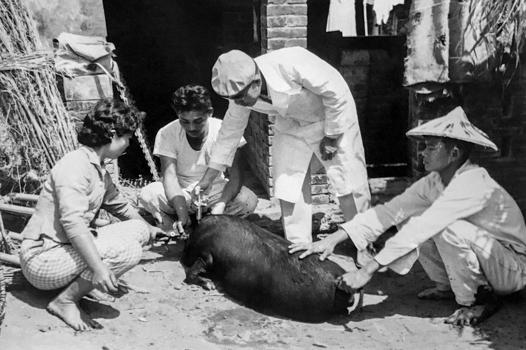早期台灣養豬場中對豬隻施打疫苗的場景。圖/豐年社提供