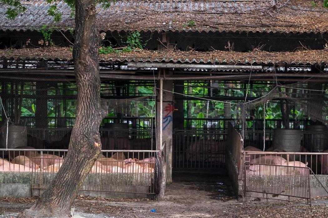 開放式的養豬環境,加上防疫觀念薄弱,活豬運輸、拍賣等環節,都是疫情擴散的原因。圖...