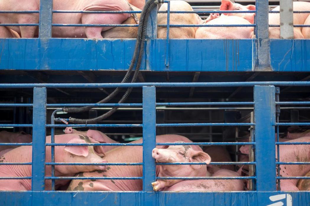 業界的防疫觀念仍需加強,載豬車離豬場距離要多遠、如何徹底消毒、不同區域工作人員的...