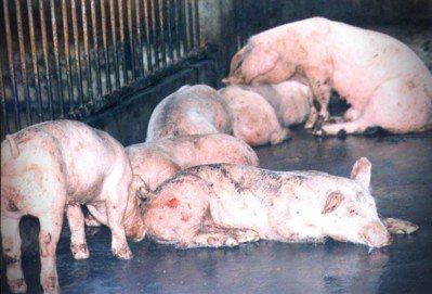 圖為台灣1997年罹患口蹄疫的病豬,牠們都將面臨遭電擊命運。圖/報系資料照