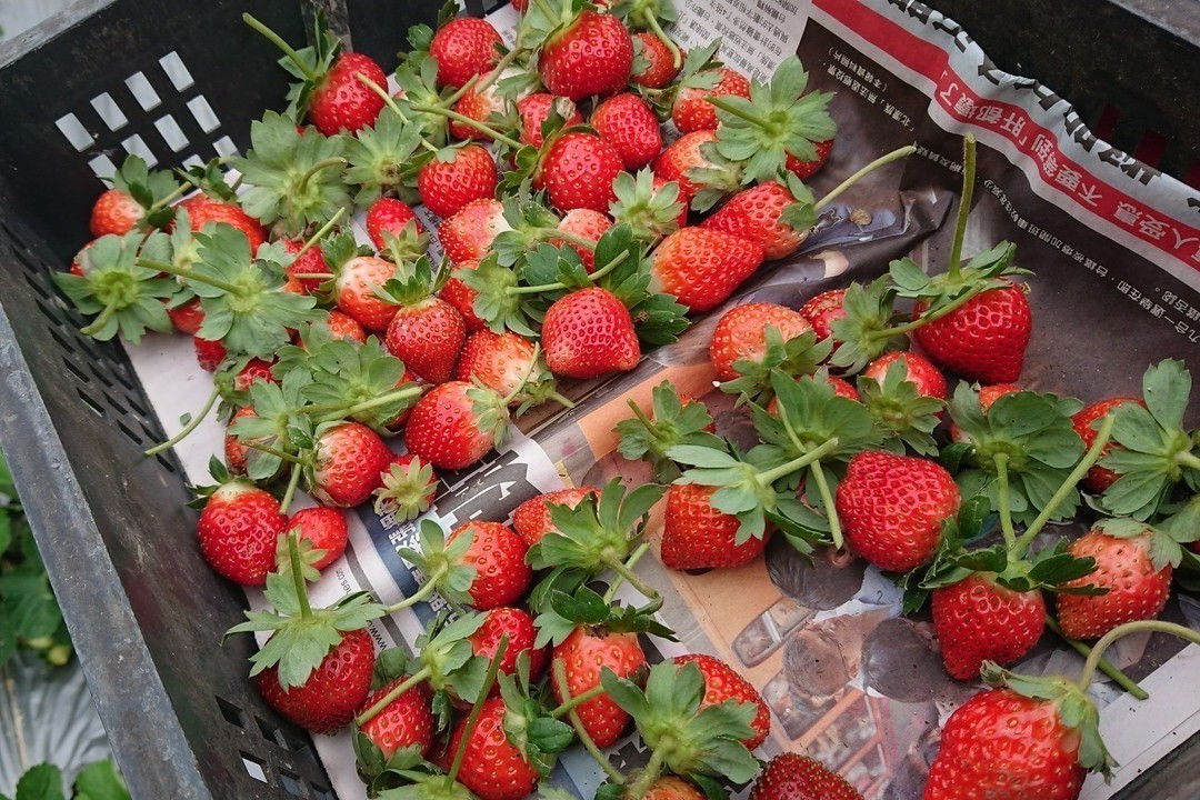 搭配醋液、生物炭所種的有機草莓比較強壯、葉面較肥大,保留原始酸甜口感。記者卜敏正...