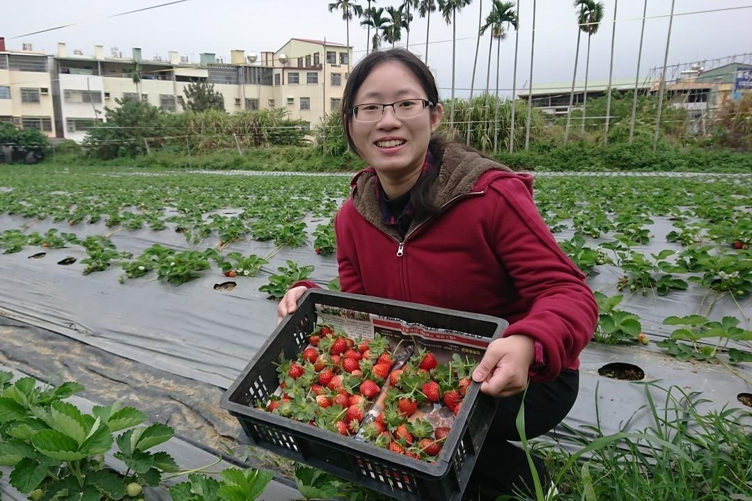 遊客認為,採有機種植草莓保留原始酸甜口感。記者卜敏正/攝影