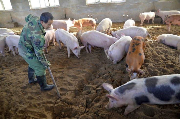 2018年8月以來,大陸多地爆發豬瘟疫情,迅速蔓延至全國各個省市。照片/美聯社