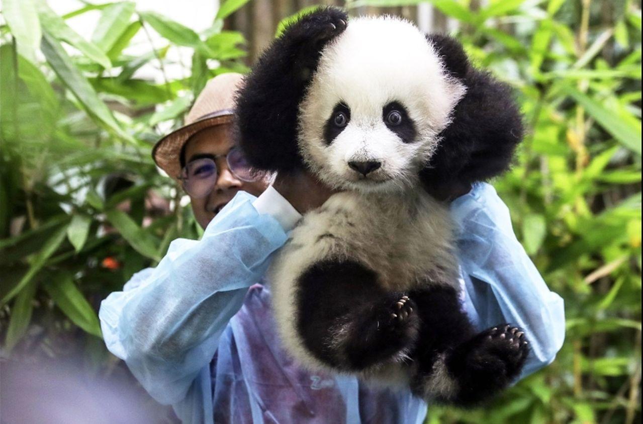 養不起!馬來西亞部長稱將把2隻大熊貓送還中國。 世界日報記者葉玉鏡/攝影