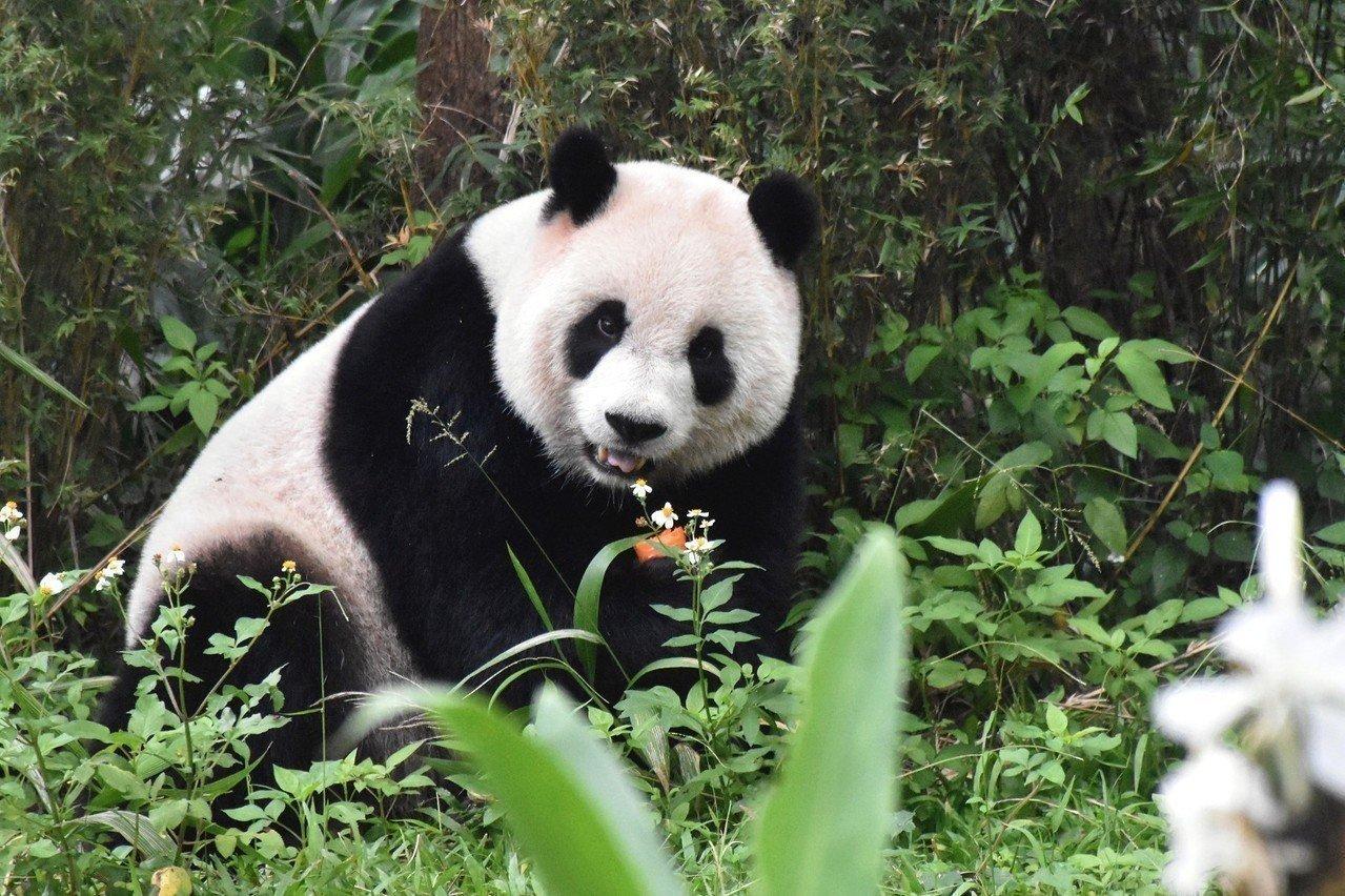大熊貓圓仔。圖/台北市立動物園提供