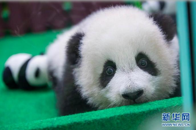 圖為中國租借給馬來西亞大熊貓「興興」和「靚靚」在馬來西亞產下的第二隻大熊貓寶寶。...