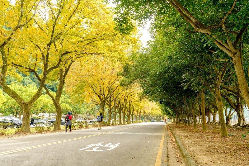 桃園森呼吸!石門水庫美景整片黃澄的「楓葉步道」 | Reco新聞