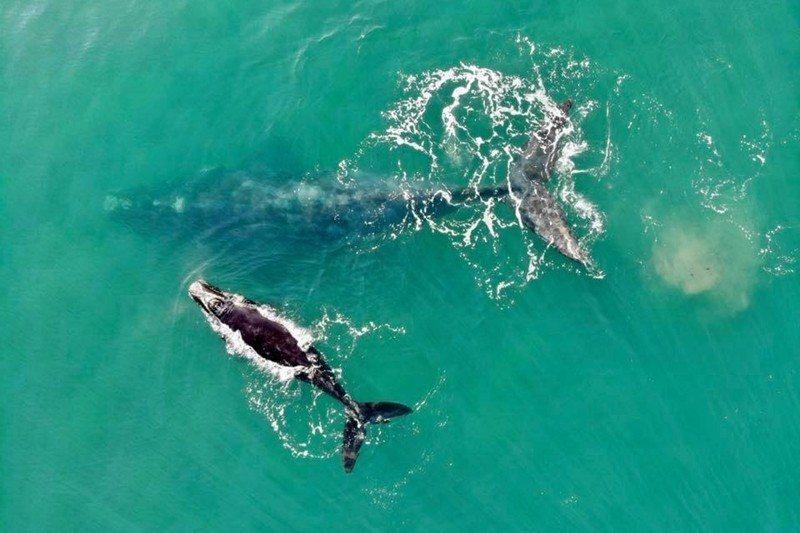 黃宗潔在《台灣鯨豚寫作研究》開頭談到台灣文學中的鯨豚神話傳說,以及早期文獻中的鯨...