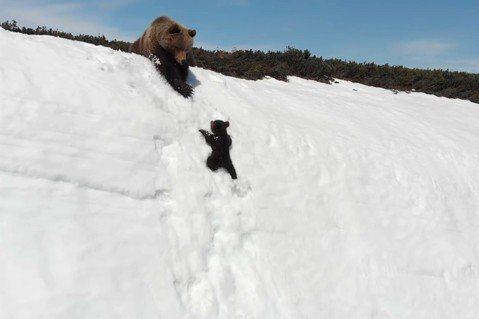 空拍機嚇到雪山小熊?空拍之前,你該知道的生態大小事