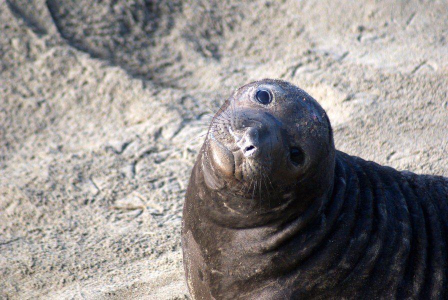 因為海洋受到污染,幼海豹從母親身上獲得的營養成分,可能早已受到污染。(Photo...
