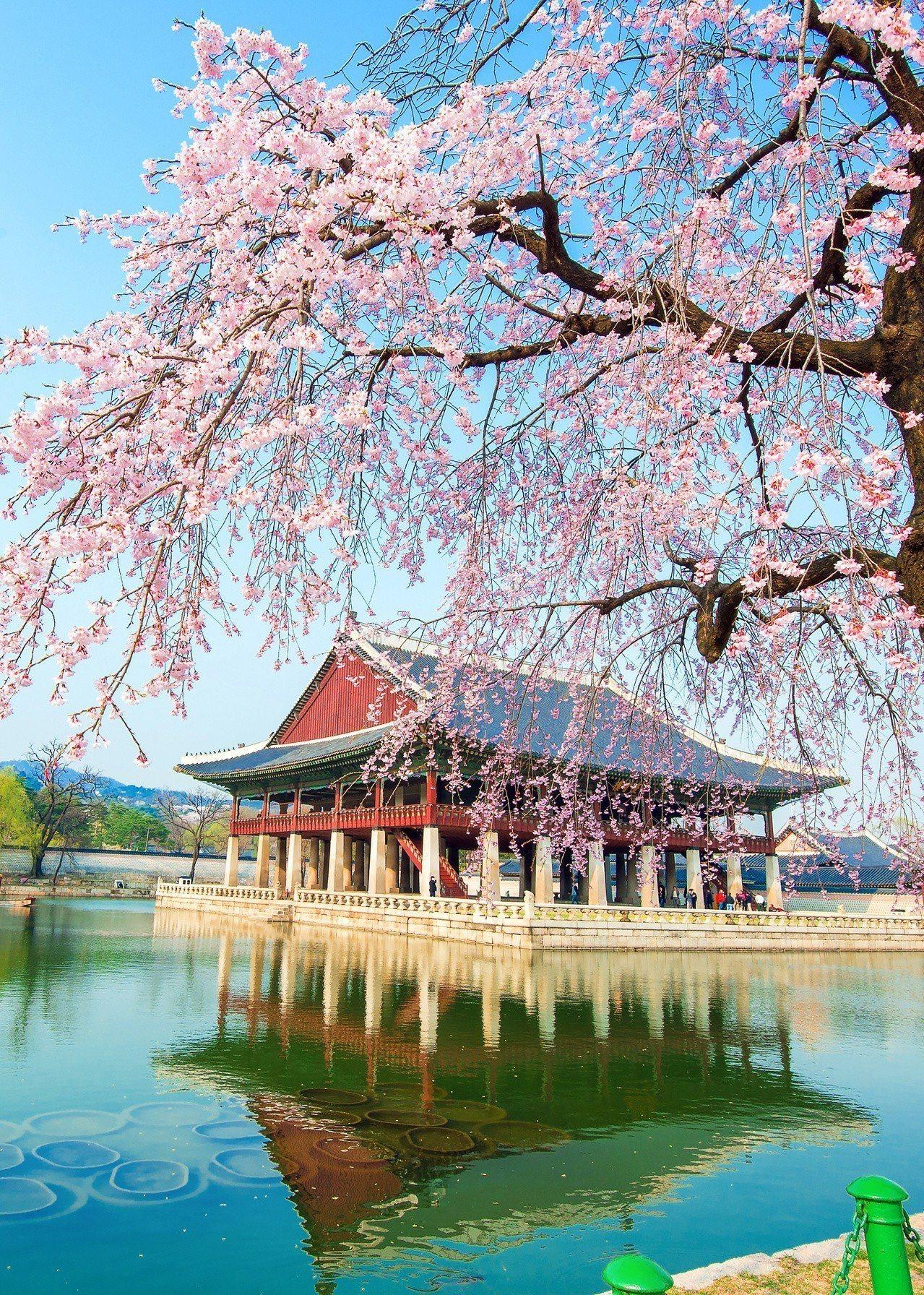 韓國首爾景福宮的櫻花。圖/可樂旅遊提供