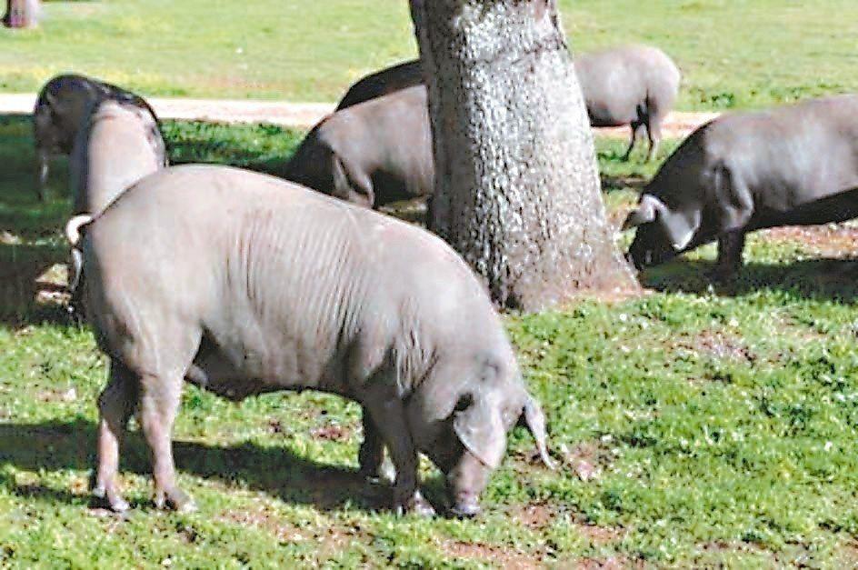 西班牙伊比利豬(Cerdo Iberico)。 圖/王瑞瑤提供