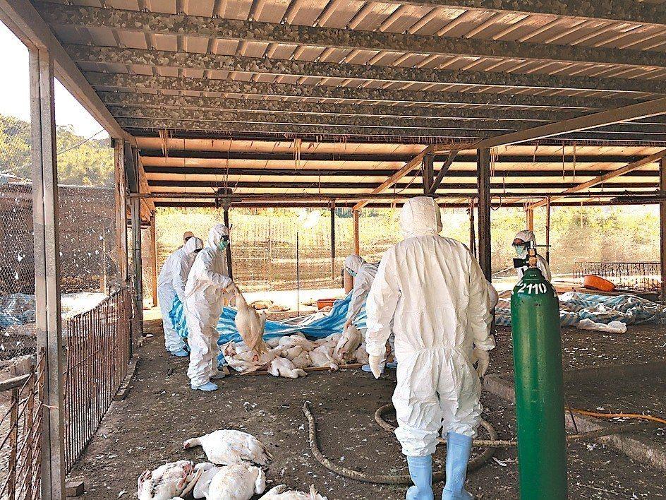 桃園市平鎮區一處鵝場爆發禽流感,昨天確診感染H5N2亞型高病原性禽流感,為桃園入...