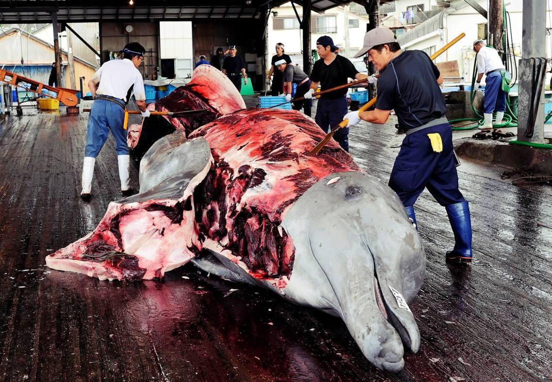 圖為日本獵捕的貝氏喙鯨,但並不在IWC的限制捕撈名單之中,每年春季至秋季會開放商...