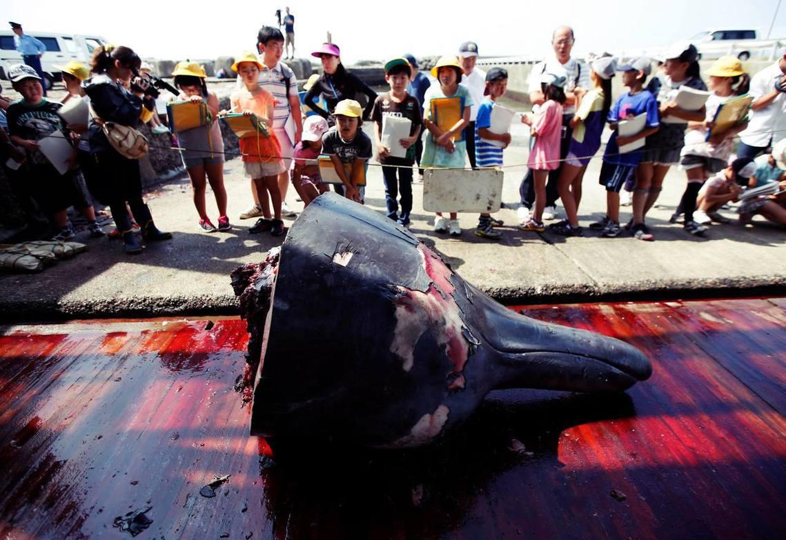 位於日本千葉縣和田漁港的小學生參訪活動,學習日本的捕鯨文化,圖為貝氏喙鯨。 圖/...