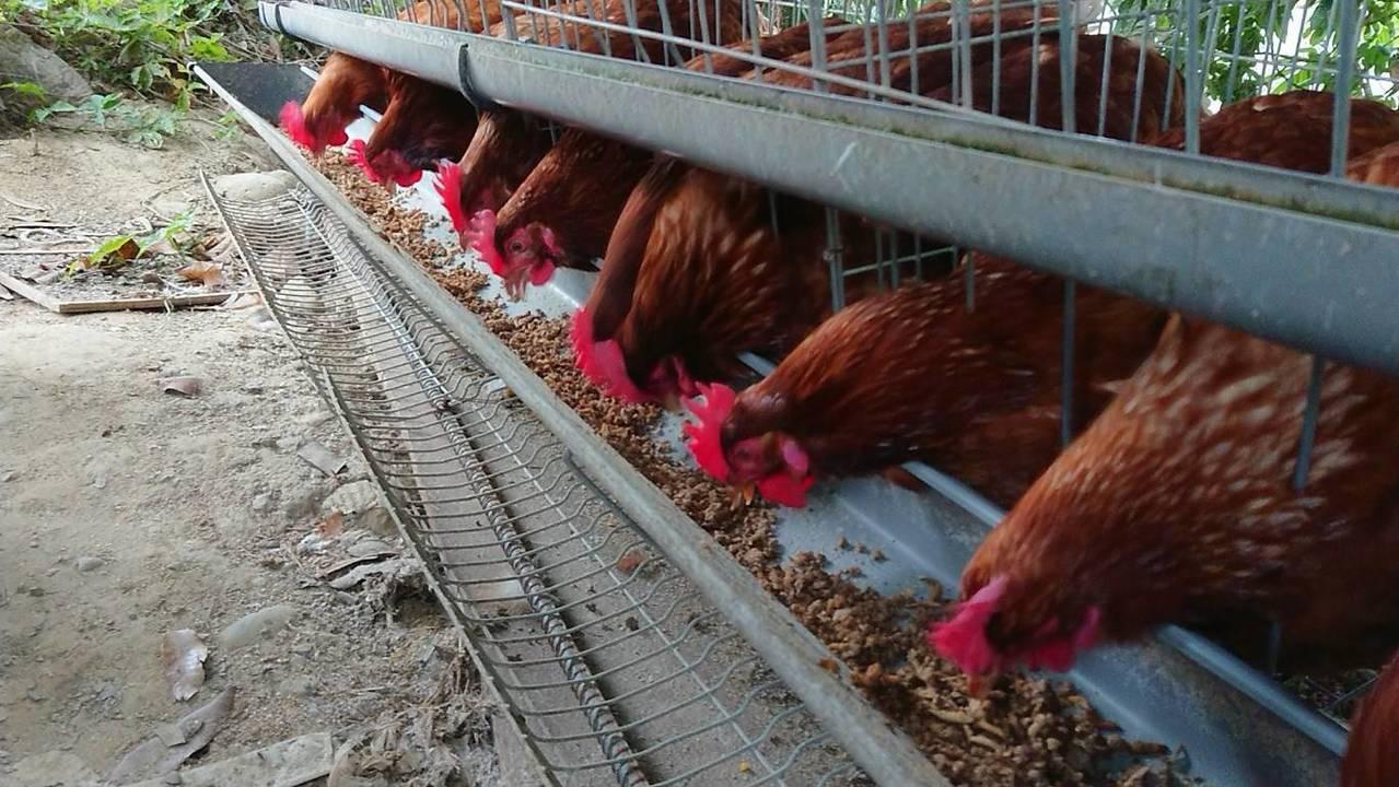 餵養黑水虻蛋雞羽毛特別鮮豔。記者卜敏正/攝影