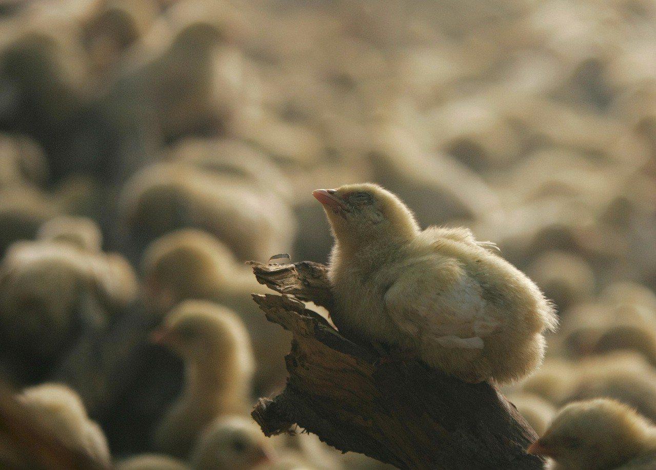 巴基斯坦上月29日起推行「後院家禽計畫」,向全國數百萬貧窮人家提供每家5隻母雞1...