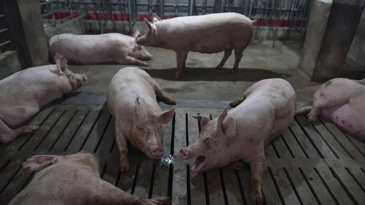 珠海撲殺1598隻豬。(香港01)