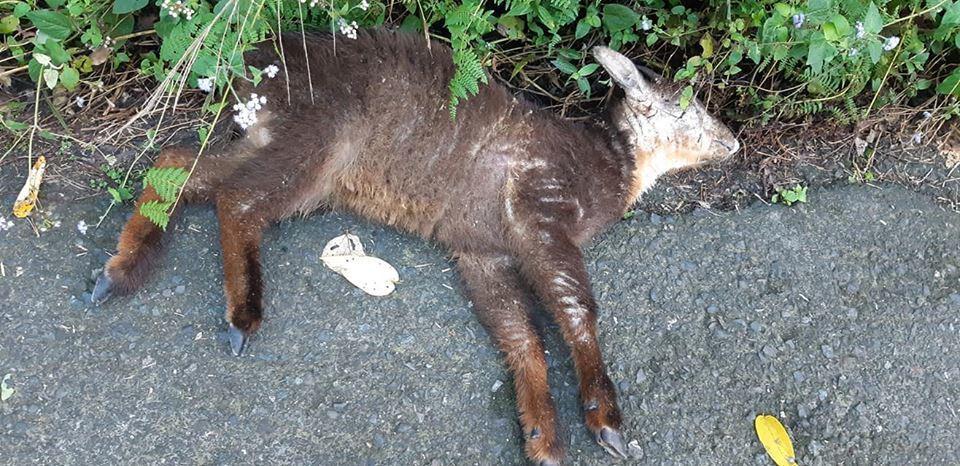 阿里山和南投交界山區有好多長鬃山羊,疑因皮膚病死亡。圖/黃俊龍提供