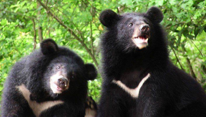 台灣黑熊是只有台灣才有的特有亞種,且是台灣唯一的原生熊類,目前面臨生存挑戰。 照...