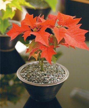 聖誕紅 圖╱摘自蘋果屋出版《淨化空氣的造氧盆栽》