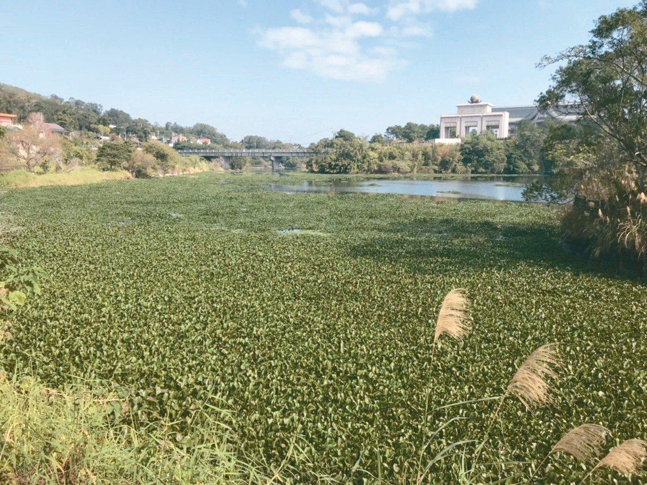 新竹縣峨眉湖布滿布袋蓮,影響遊湖景致,鄉公所將盡速清除。 記者陳斯穎/攝影