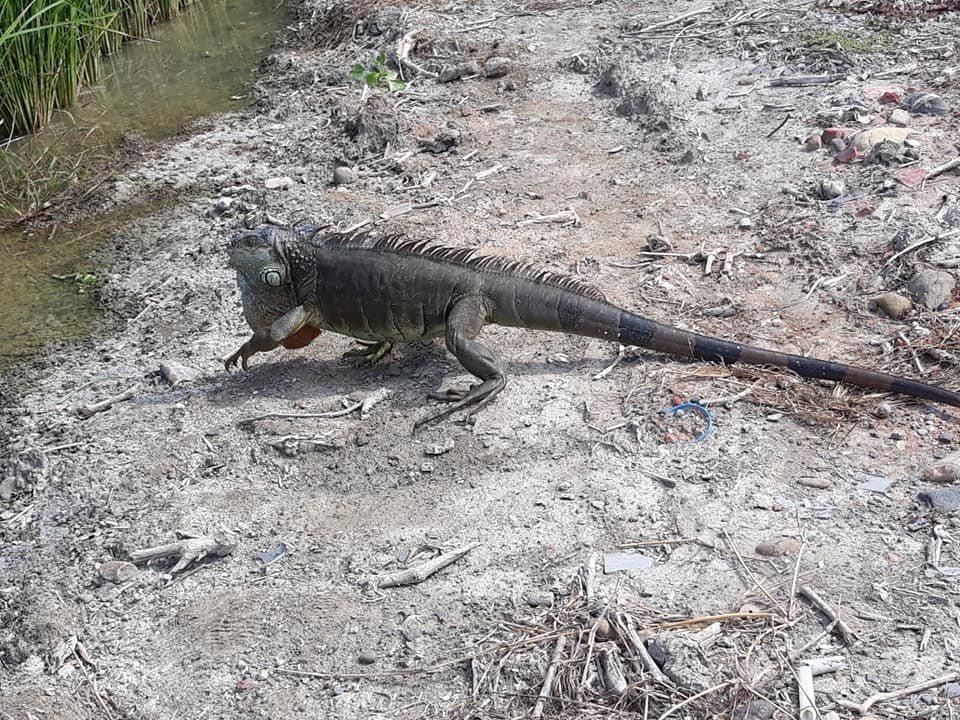 二林鎮有在山寮排水東口橋附近稻田,拍到綠鬛蜥趴趴走的身影。聯合報系資料照片