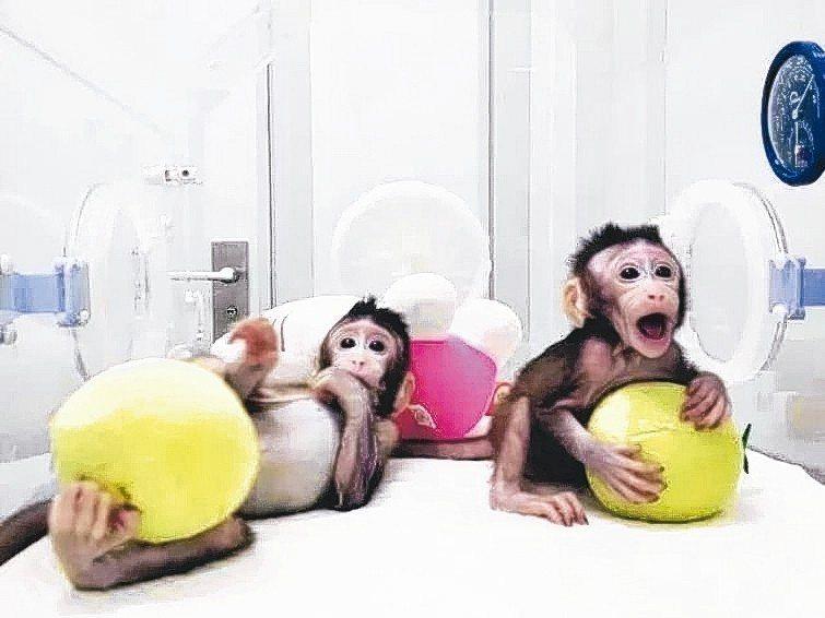 兩隻體細胞克隆猴(複製猴)「中中」和「華華」在中國大陸誕生。 圖/英國《自然》雜...