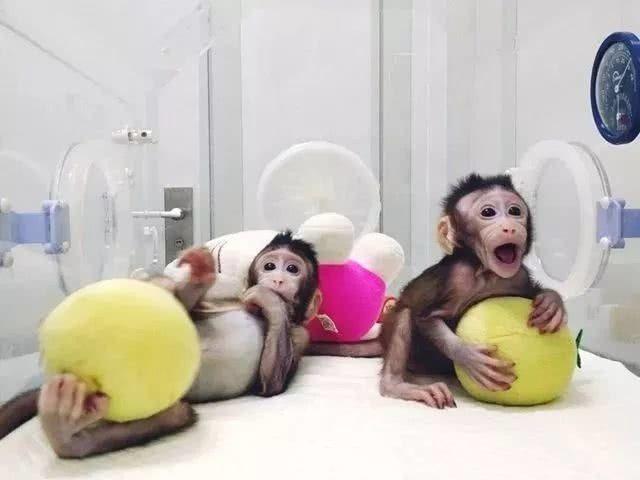 兩隻體細胞克隆猴(複製猴)「中中」和「華華」在中國大陸誕生。(圖源:英國《自然》...