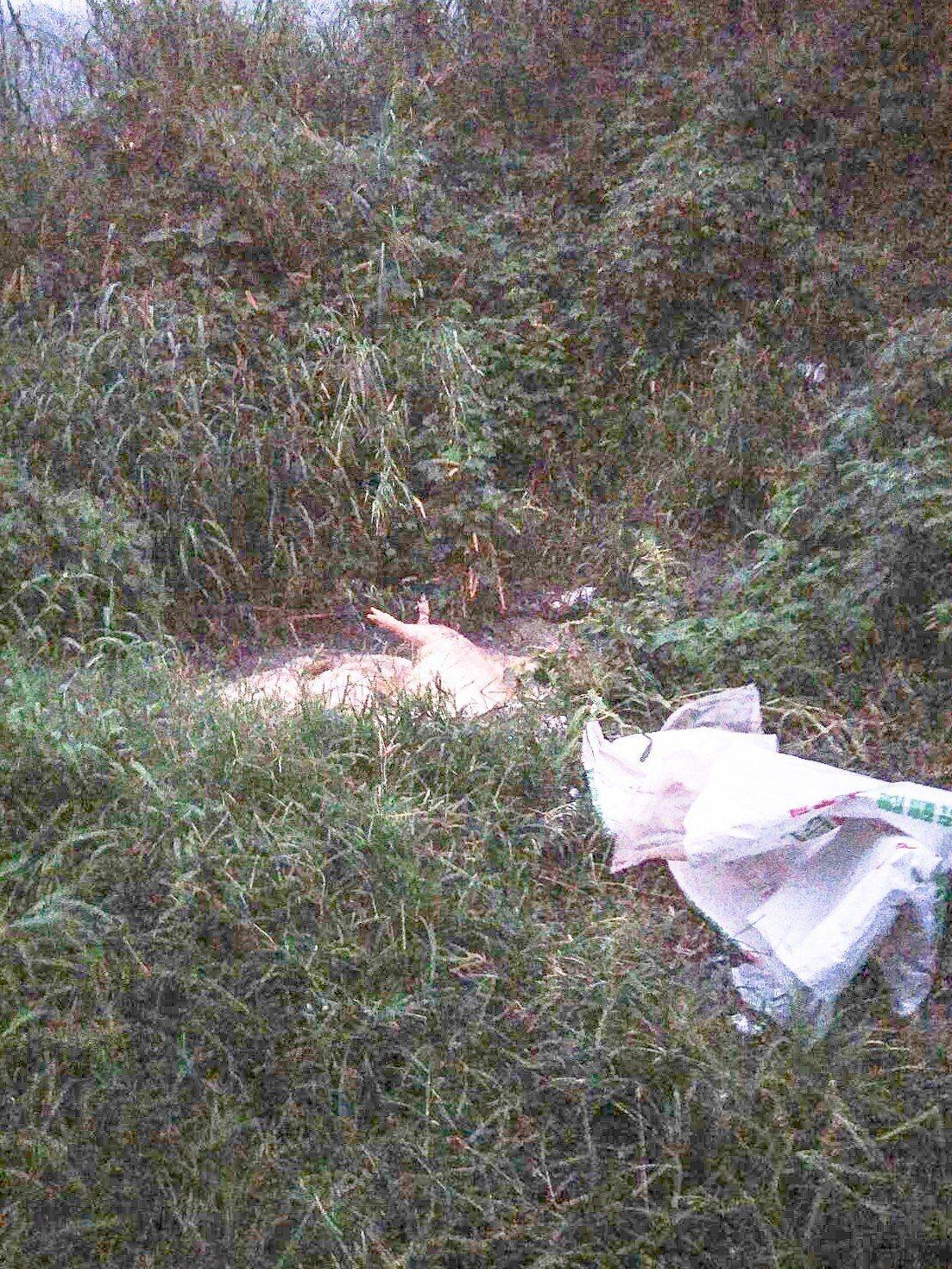 約6隻死豬被丟棄於花蓮縣壽豐鄉豐坪一號橋旁的偏僻排水溝,公所正派員清運中。記者蔡...