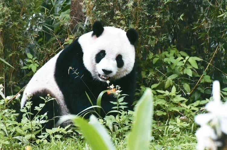 大熊貓圓仔。 台北市立動物園/提供