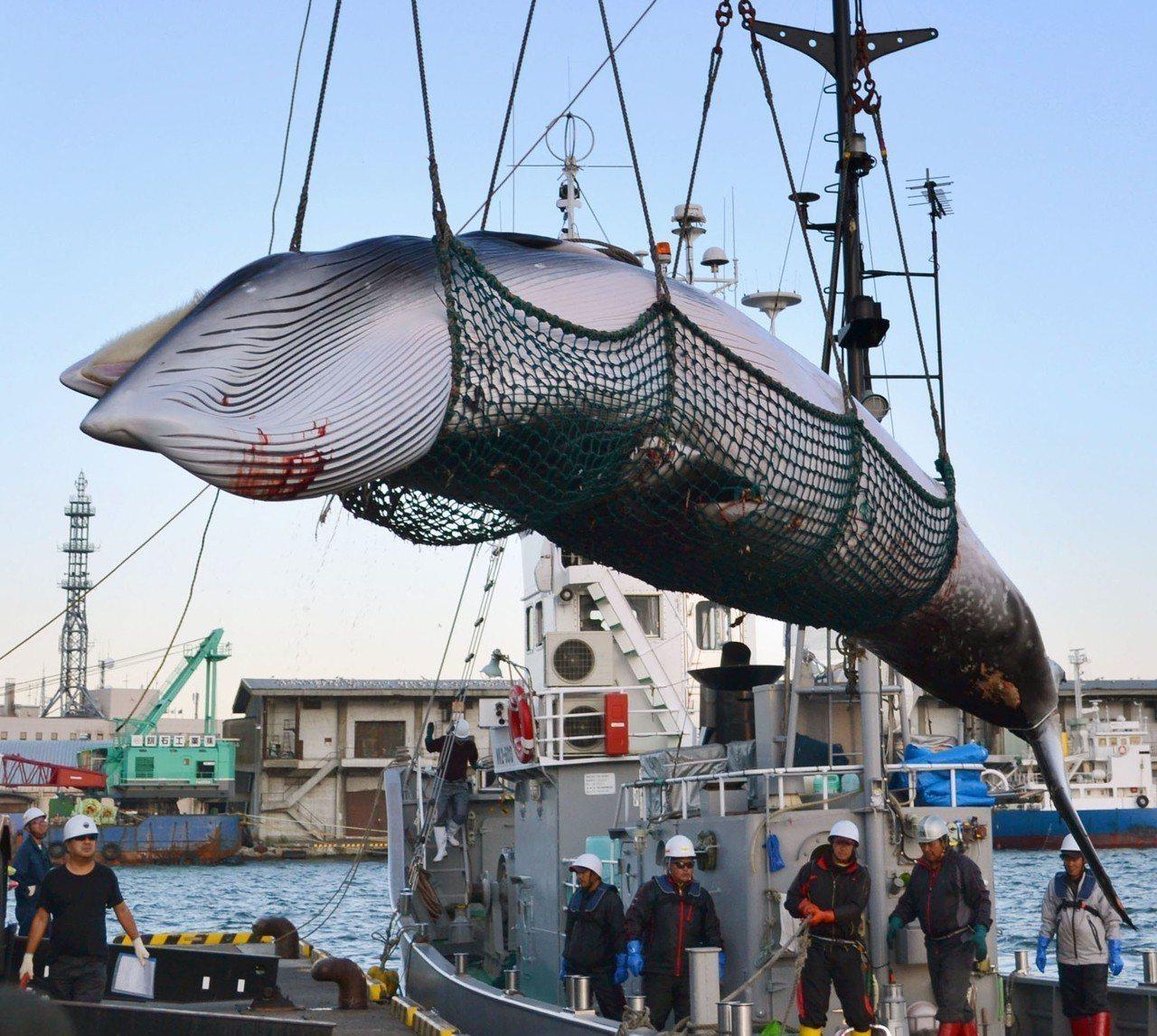 日本宣布退出「國際捕鯨委員會」(IWC),並於明年恢復商業捕鯨。美聯社