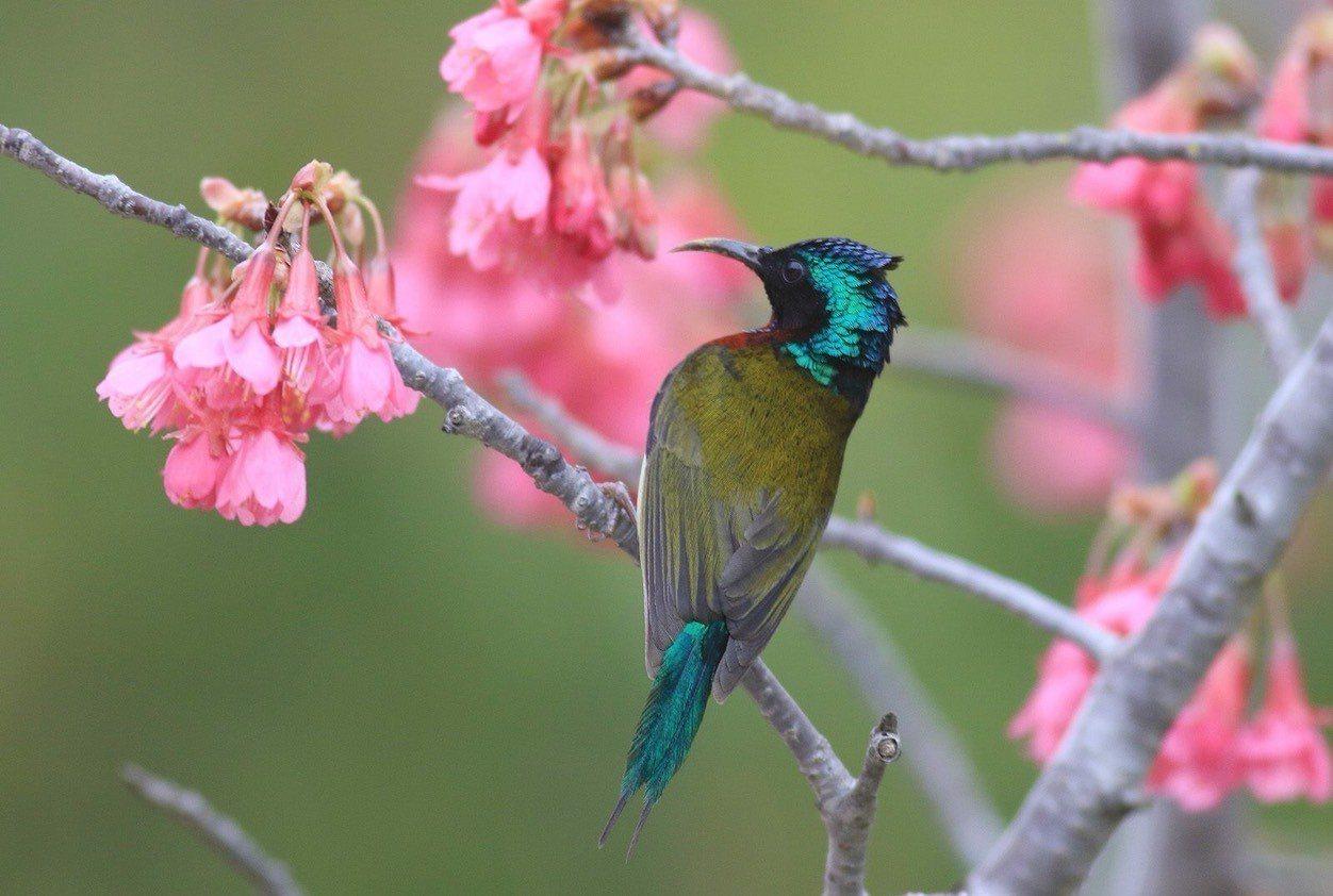 叉尾太陽鳥的美麗倩影,讓不少鳥友相當著迷,稱牠為「花間小精靈」。圖/拍鳥俱樂部提...