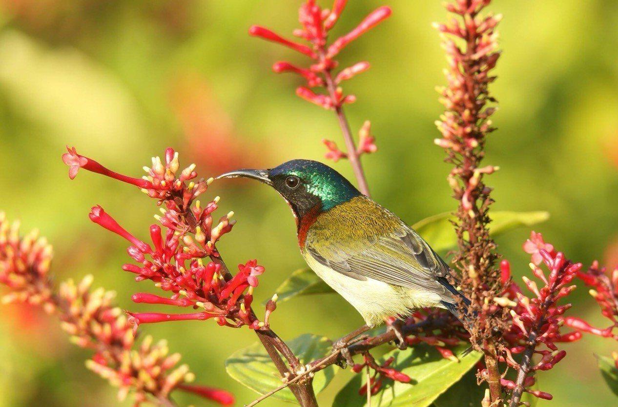 叉尾太陽鳥全長約9厘米,雄鳥頭部呈金屬藍綠色,喉和上胸為深緋紅色,嘴部向下彎曲,...