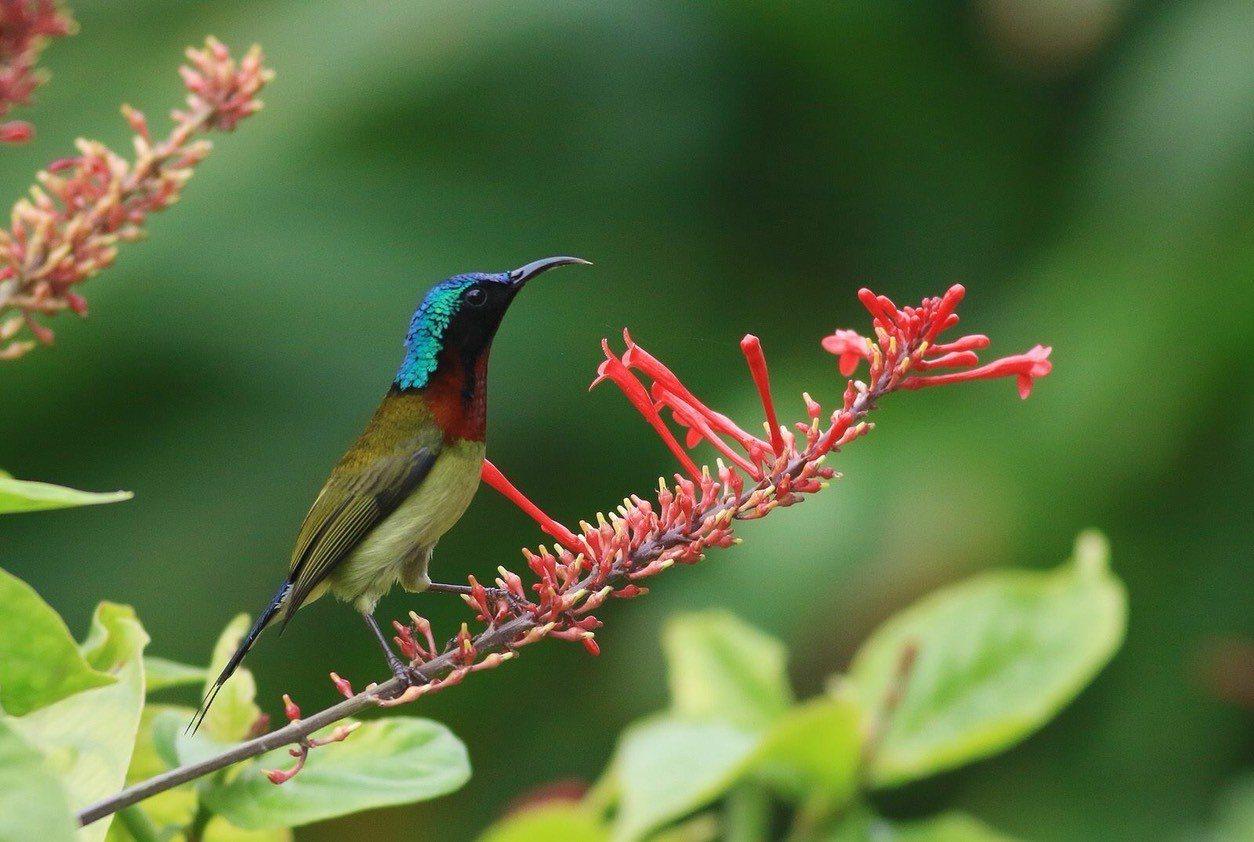 叉尾太陽鳥的美麗倩影,讓不少鳥友相當著迷,稱他為「花間小精靈」。圖/拍鳥俱樂部提...