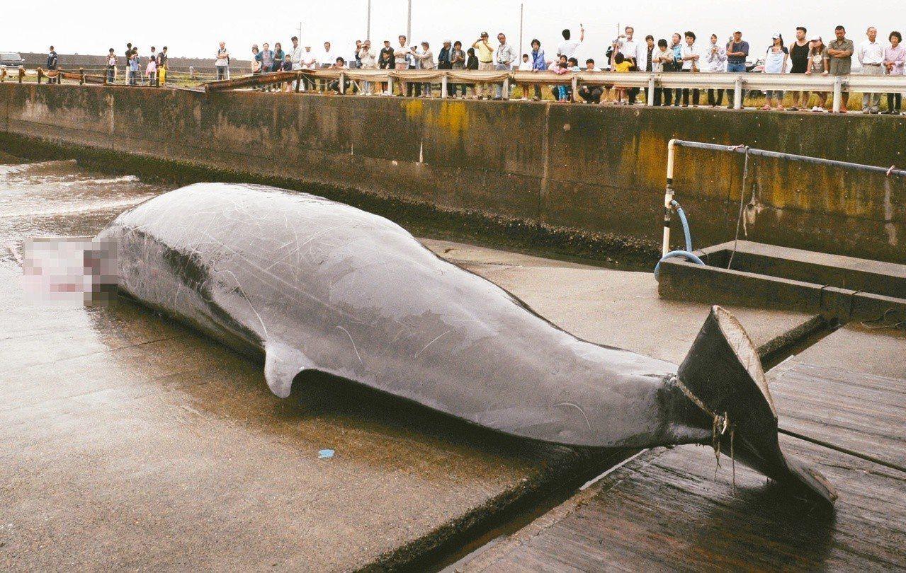 在日本外海六十公里處捕獲的貝氏喙鯨。 (美聯社)