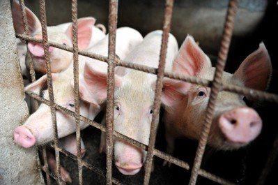中國安徽省臨泉縣的一個村莊,豬隻被圈在籠子裡。圖/美聯社