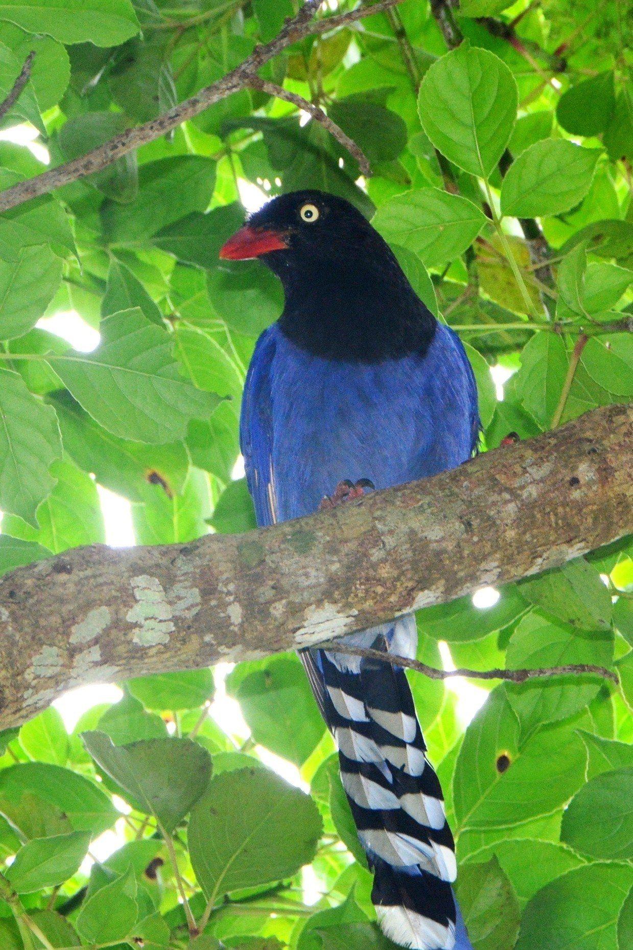 佛光大學校園的動植物生態豐富,吸引藍鵲到此復育。圖/佛大提供